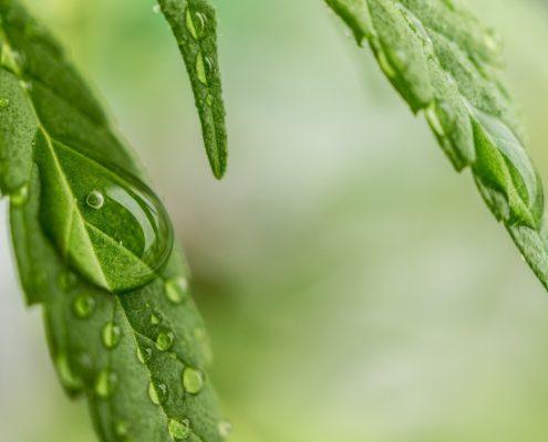 cannabis dew drop leaf free image pixabay www.micannabislawyer.com