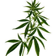 cannabis plant flowering free cannabis icon from pixabay www.micannabislawyer.com