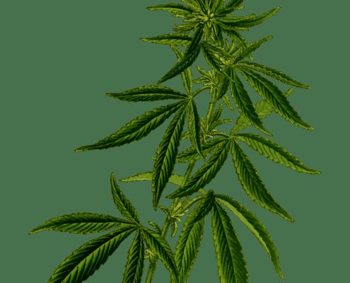 cannabis plant flowering free cannabis icon from pixabay www.micannabislawyer.com