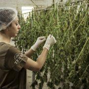 Michigan microbusiness license michigan cannabis lawyers